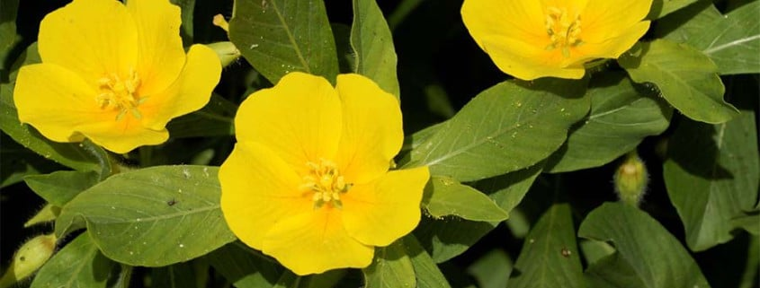 Jussie luwigia grandiflora Suscinio