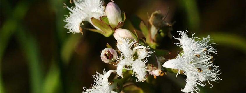 Ménianthes trifoliata Sérent 06/10