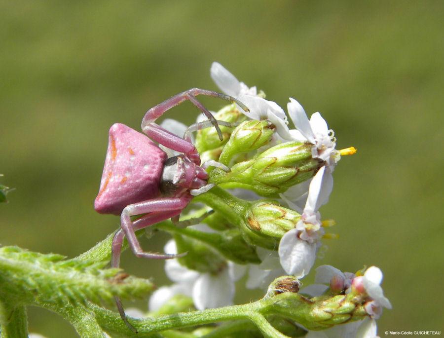 Araignée rose Arzon 05/10