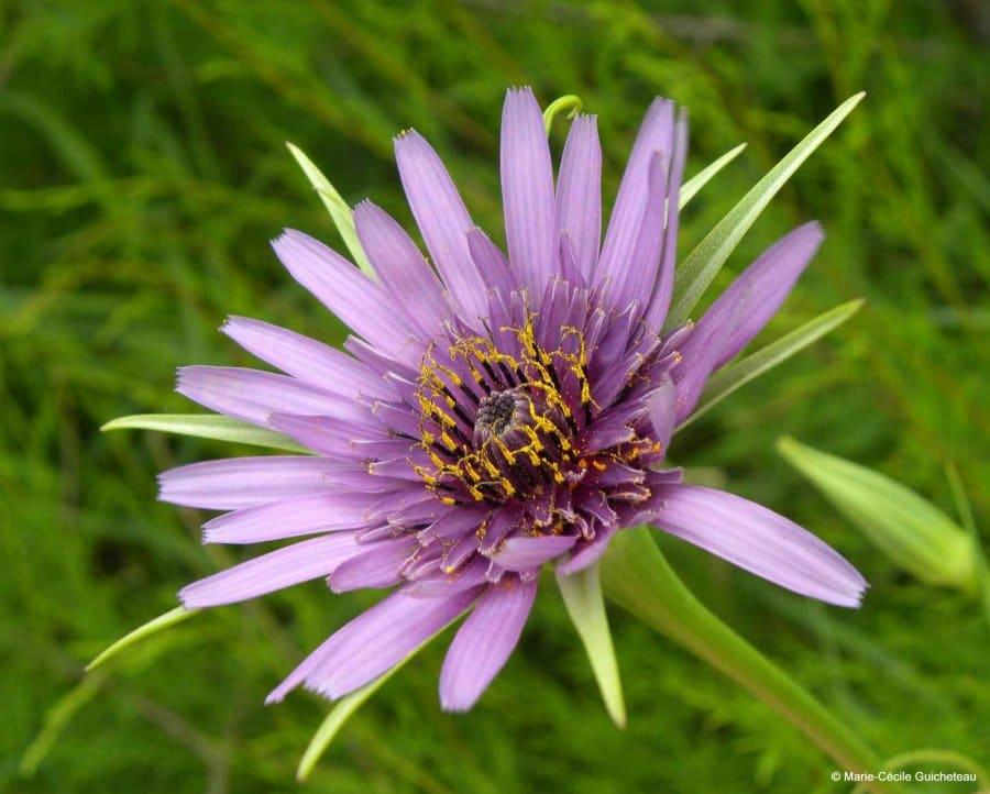 Fleur de salsifi sauvage Lasné 05/11