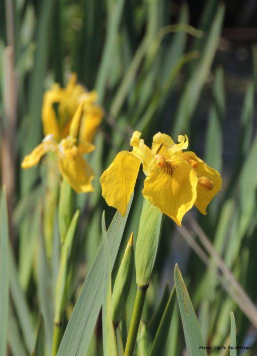 Iris des marais Suscinio 04/17