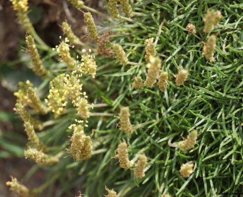 Plantain à feuilles carénées Belle-Ile 06/17