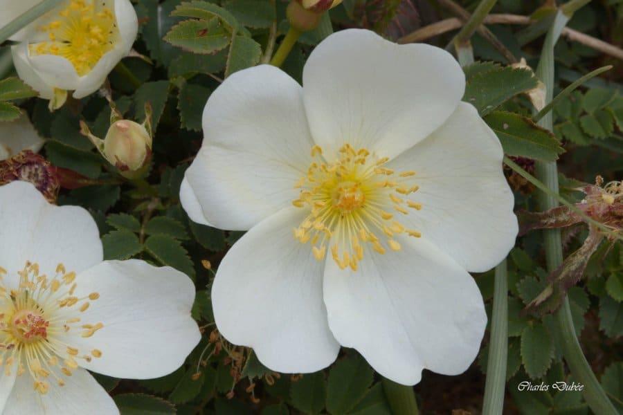 Rosa pimpinellifolia Erdeven 05/17