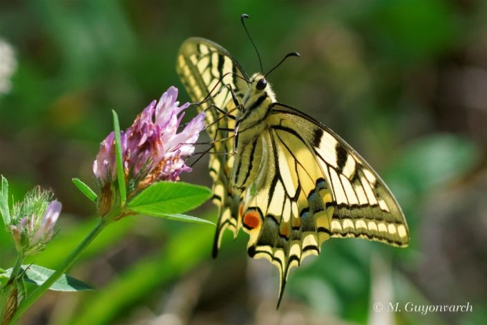 Machaon Lauzach 08/17