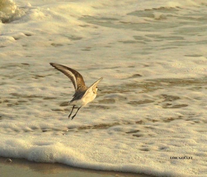 Bécasseau sanderling Penvins 10/17