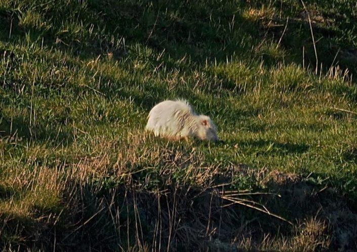 Ragondin albinos Séné 02/18