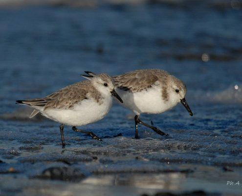 Bécasseaux sanderling Penvins 03/18