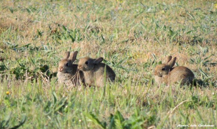 Jeunes lapins Suscinio 04/18