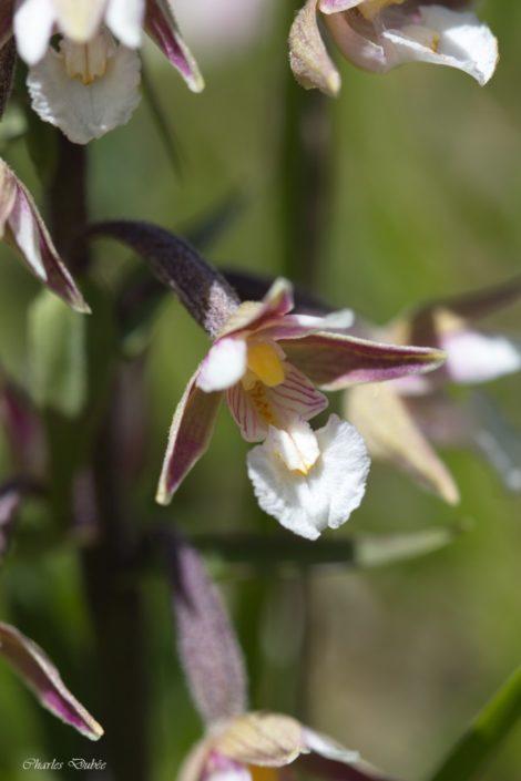 Epipacte des marais -Epipactis palustris- La Torche 06/18