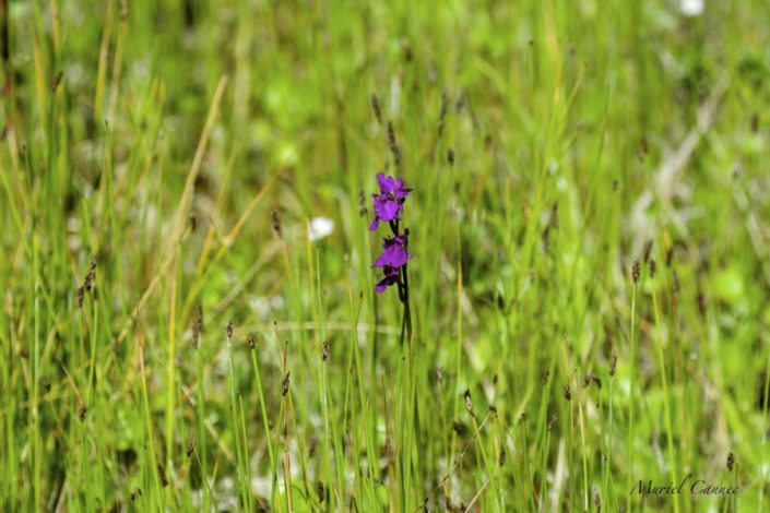 Orchidée Penmarch 06/18