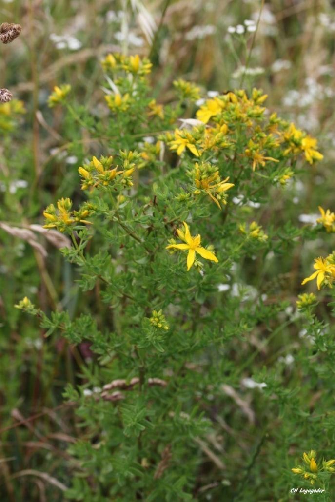 Hyperecum perforatum Penvins 06/19