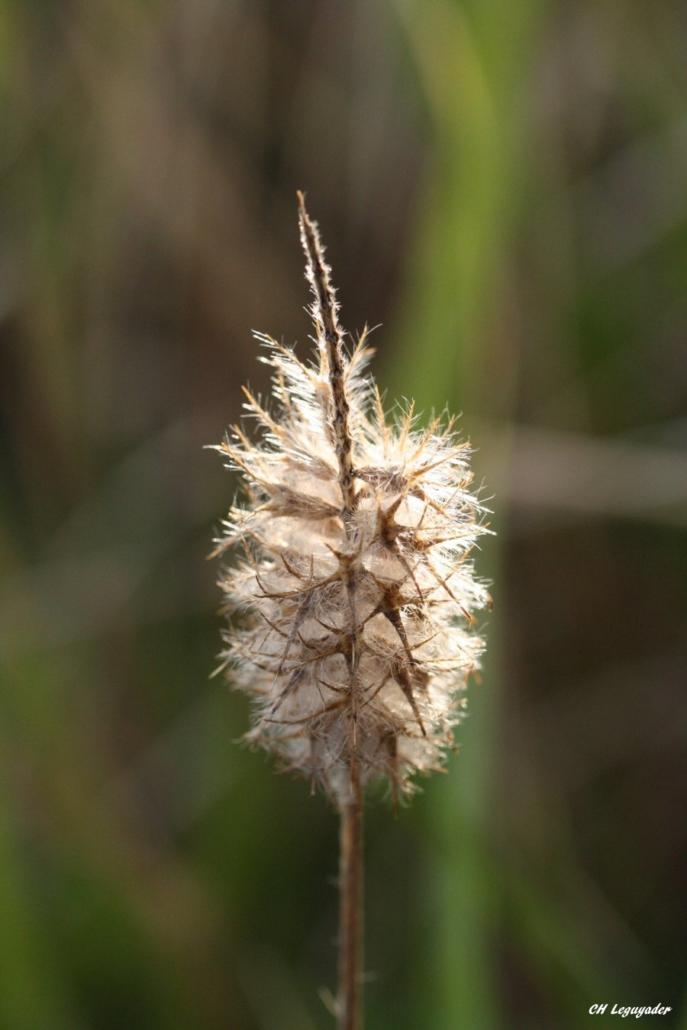 Trifolium angustifolium Arzon 10/19