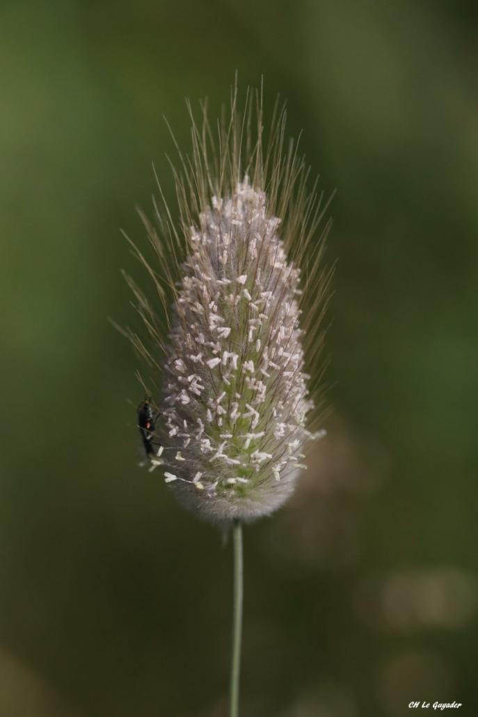 Lagurus ovatus Guidel-plage 05/20