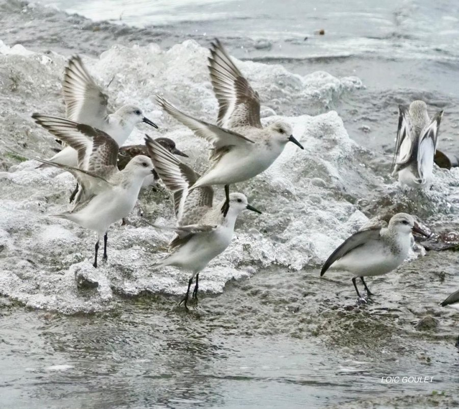 Bécasseaux sanderling Concarneau 12/20
