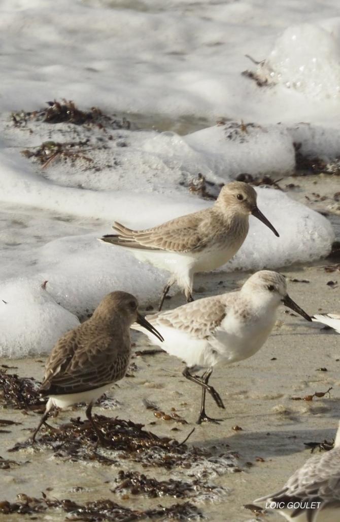 Bécasseaux variable et sanderling Concarneau 12/20