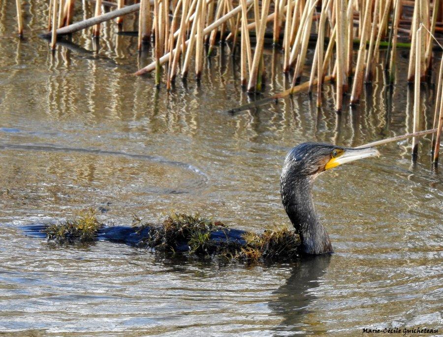 Grand cormoran Arzon 01/21