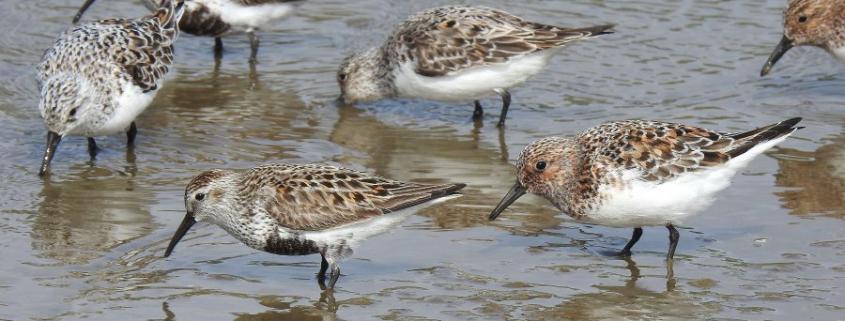 Bécasseaux variables et sanderling Suscinio 05/21